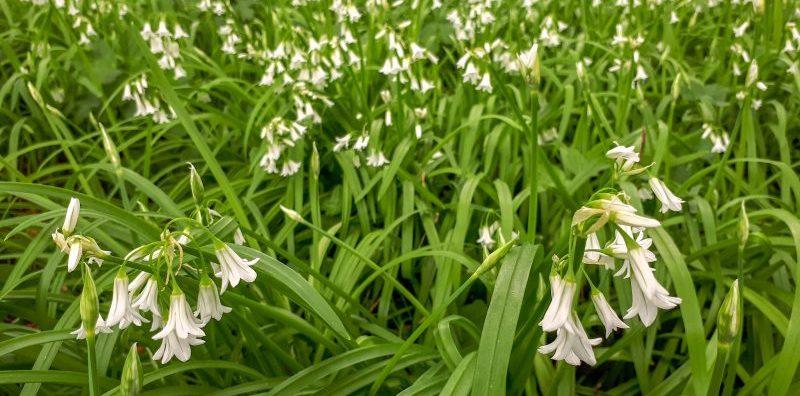 invasive plant three-cornered garlic