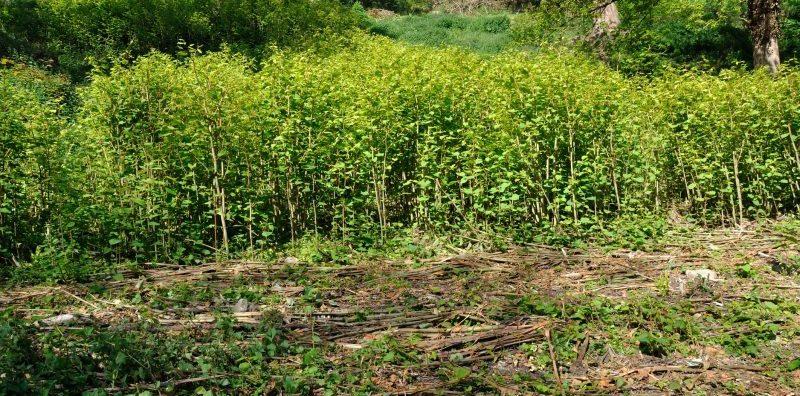 invasive weed japanese knotweed