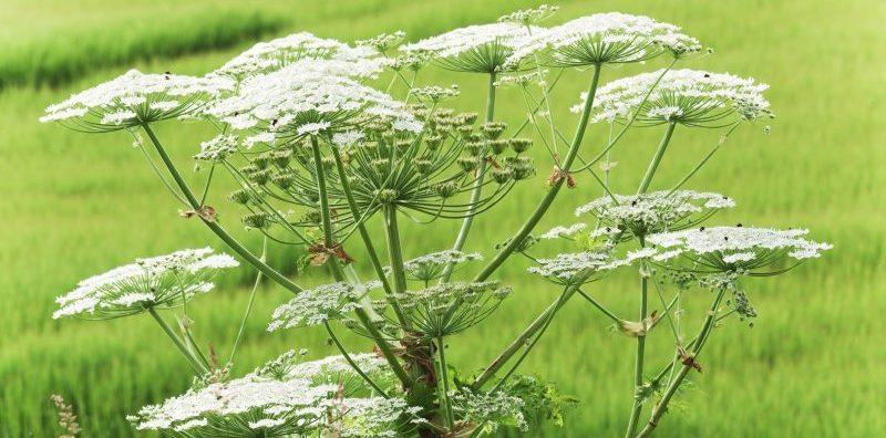giant hogweed invasive