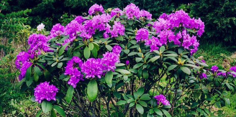 invasive plant rhododendron ponticum